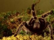 5 Interesting Facts You Must know About Zebra Tarantula
