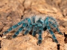 5 Unbelievable Facts about Antilles Pinktoe Tarantula or CaribenaVersicolor